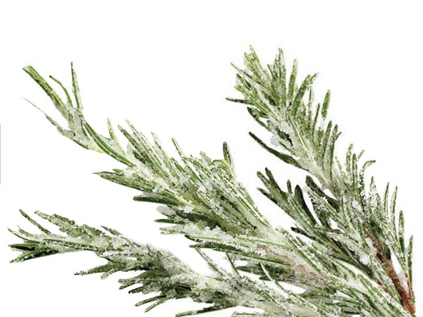 Sprigs of rosemary covered in superfine sugar