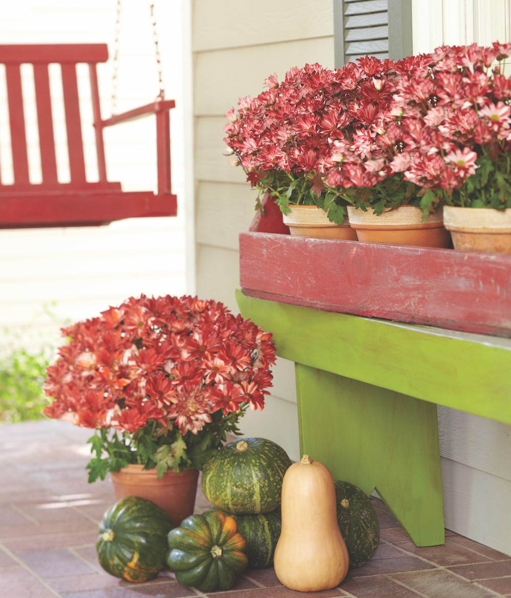 Fall red mums on patio with a variety of squashes