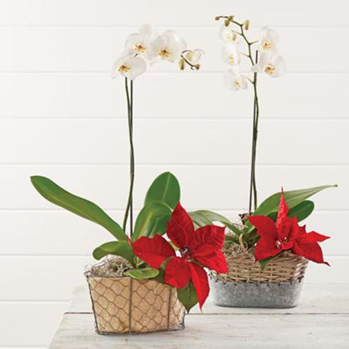 Poinsettia Orchid Combo in Basket