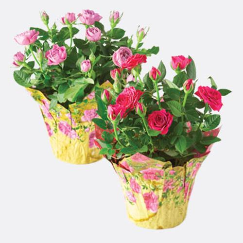 Rose Plant in Spring Wrap