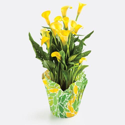 Mini Calla Plant with cover