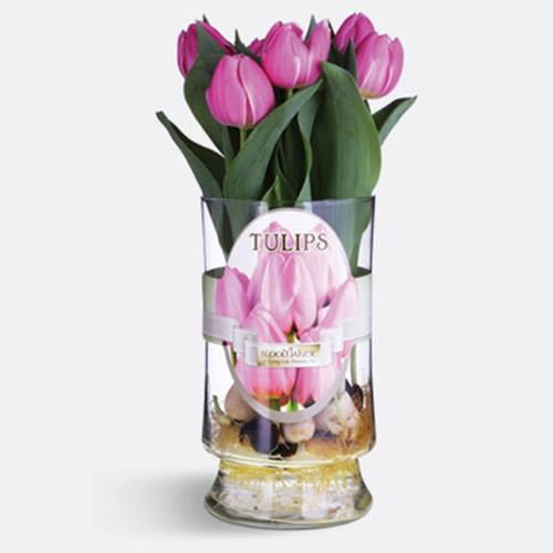 Bloomakers Tulips in Roma Glass