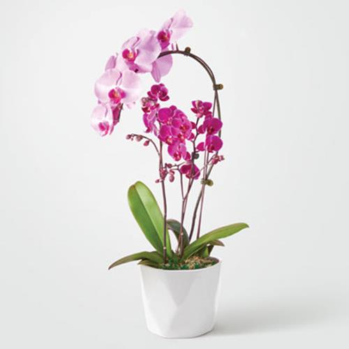 Duo Delight Orchid