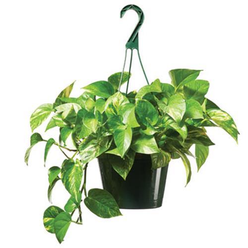 Foliage Hanging Basket